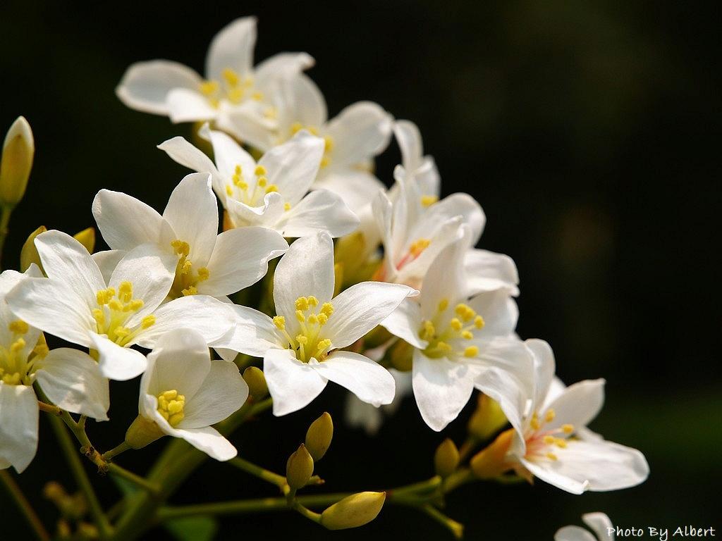 【油桐花】在龜山楓樹村遇見四月雪