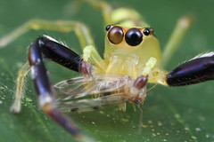 Jumping spider with prey (Kurt (OrionHerpAdventure.com)) Tags: orange nature yellow prey predator jumpingspider macrophotography salticidae barklouse macroimages orionmystery macrotutorial upclosewithnature macroblog img7093copy