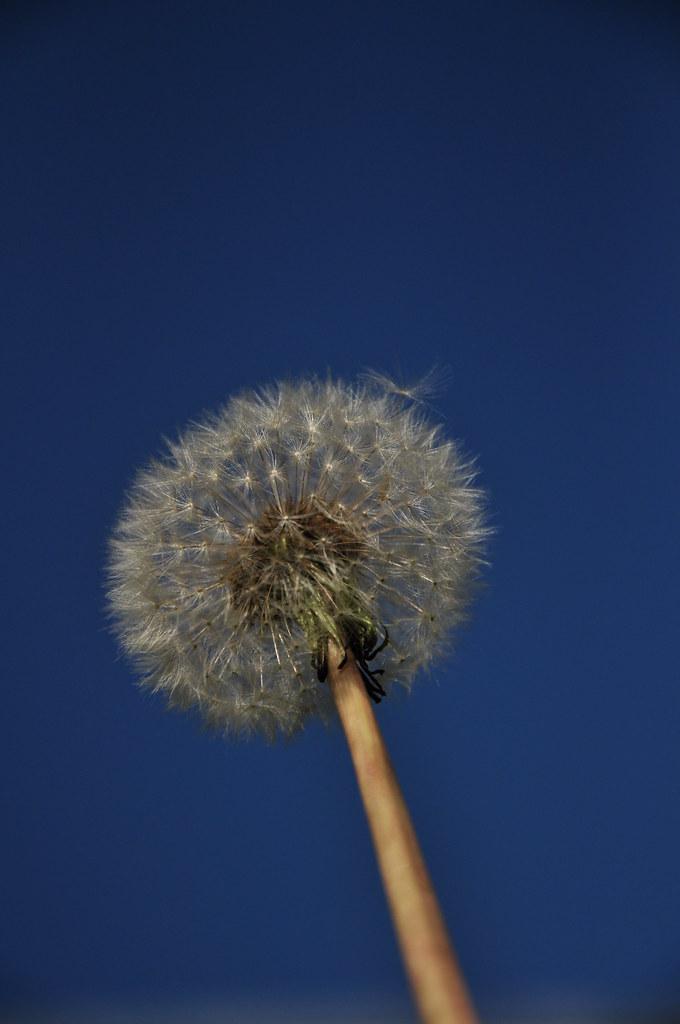 dandelion sky blue
