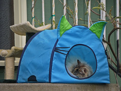 Cat Tent (The Cat's MeOM) Tags: blue sleeping house cat eyes chat nap all post outdoor sleep tent whiskers catnap sleepy gato scratching 2010 cubby gattini imgp7715