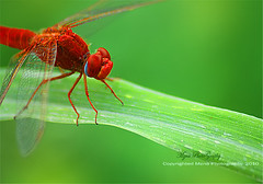 (mzna al.khaled) Tags: red macro green dragonfly insects closup natrue       macrolife