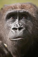 2010-04-24-15h21m49.272P0233l (A.J. Haverkamp) Tags: zoo gorilla arnhem thenetherlands burgerszoo dierentuin westernlowlandgorilla westelijkelaaglandgorilla canonef100400mmf4556lisusmlens makoua httpwwwburgerszoonl pobberlingermany dob11062004