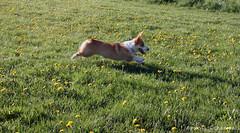 Whee!!! (aebphoto) Tags: dog field jumping corgi michigan annarbor pembrokewelshcorgi fetch leaping gryff cranbrookpark