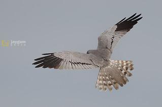 Águia-caçadeira (Circus pygargus) Montagu's harrier