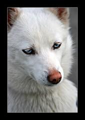 comme deux Oceans dans la banquise!... (eric.bachellier) Tags: chien animal yeux bleu canoneos400d autempsdunumeric