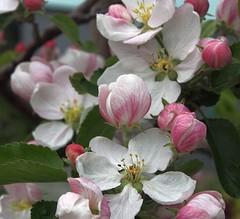 appleblossoms