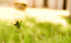 There's A Kind Of Hush... (Chris H#) Tags: light green grass sunshine spring soft northamptonshire dandelion tone blades s3000 gravyard hermanshermits burtonlatimer cmwdgreen theresakindofhush nikond5000