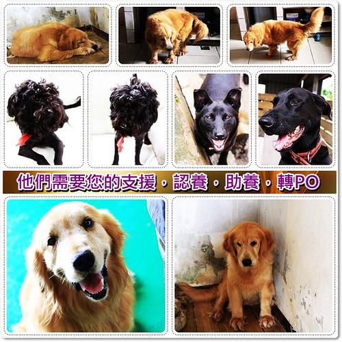 「助養認養」新竹內灣豐田村黃金獵犬安安小姐,桃園新屋收容所救出的黑梗犬,台灣黑狗兄妹,需要支援與認養,轉PO也是很重要,謝謝您,20100502