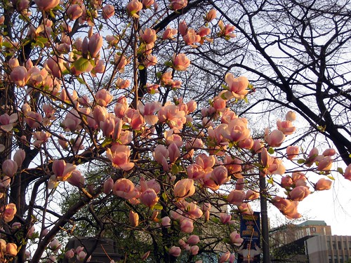 My Magnolia Tree 2010