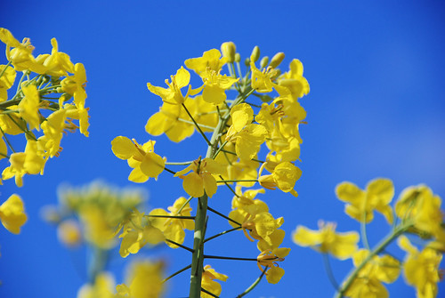 Rape Seed Against Blue Sky by Pixies and Pixels, on Flickr