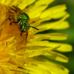 Tiny Sweat bee in the Dandelion (Dialed-in!) Tags: flower macro green eye face yellow closeup canon insect flying eyes bright little metallic small powershot dandelion bee tiny sweat pollen collecting sunnyday 500x500 g9 macrolife dialedin thechallengefactory