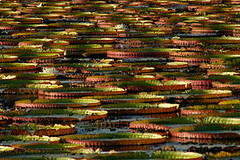 Amazon Water Lilies (helloartmuse) Tags: red brazil green nature water photography amazon texas delta waterlilies botswana sanddunes antilles naturephotography greategrets underwaterphotography braincoral crinoid artmuse artmusecom charlenedejori noahnaturealliance