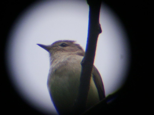 digiscoped warbling vireo
