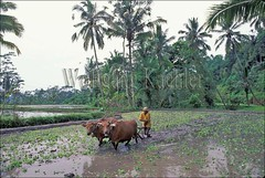 30040169 (wolfgangkaehler) Tags: bali green field indonesia landscape landscapes asia cattle rice farm farming scenic fields plow agriculture ricefield plowing ricefields scenics riceterraces terraced riceplanting baliindonesia gunungkawi terracedfield terracedfields terracedricefields terracedricefield gunungkawibali