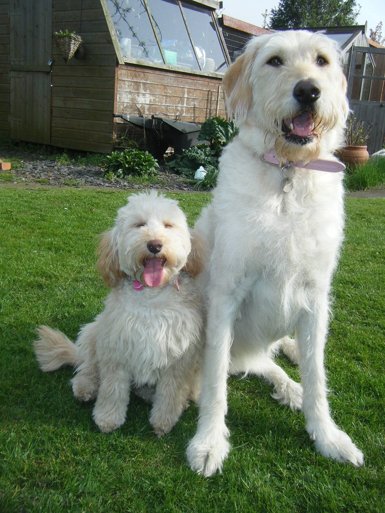 The World's newest photos of labradoodle and spoodle - Flickr Hive Mind