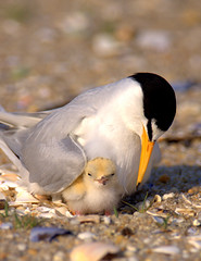 Endangered Least Tern With Chick (William  Dalton) Tags: bird mother nj chick explore mothersday endangeredspecies leasttern belmarnj specanimal sternulaantillarum onephotoweeklycontest femaleleasttern beachnestingbird onephotoweeklycontestwinner