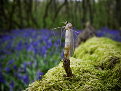 Birth Of A Crane Fly (Jason Dale (Over 1.4 Million Hits And Coutning)) Tags: wood england church bluebells lava fly spring log long crane emerging chrysalis pupa mynd stretton dapa dapagroupmeritaward dapagroupmeritaward3 dapagroupmeritaward4 dapagroupmeritaward2 dapagroupmeritaward1