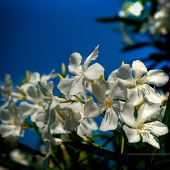 HOUSTON WHITE OLEANDER (ANVAR - RUSSIANTEXAN ) Tags: white flower interestingness nikon texas houston explore oleander russiantexan explored d700 nikkor2470mmf28 anvarkhodzhaev russiantexas svetanphotography exploredmay142010153