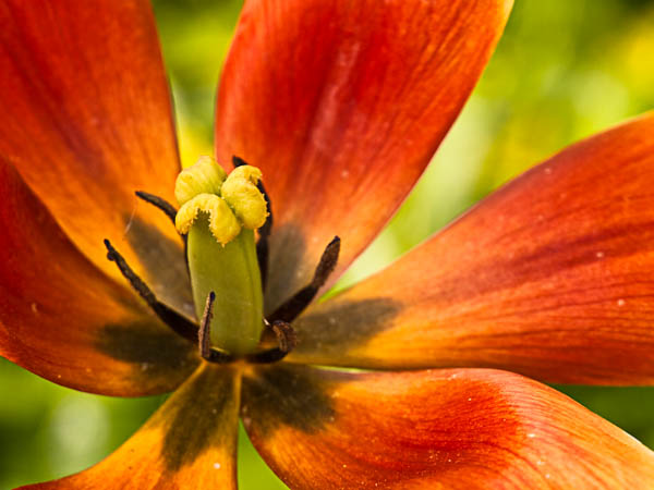 Orange Lily Macro taken at Olbrich Botanical Gardens in Madison Wisconsin