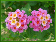 Lantana camara (pink and cream flowers)