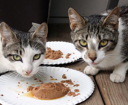 Emmaline and Noodlehead stare into the camera over a plate of wet food.  Emmaline is also tabby and white, but her face is mostly white instead of mostly tabby.