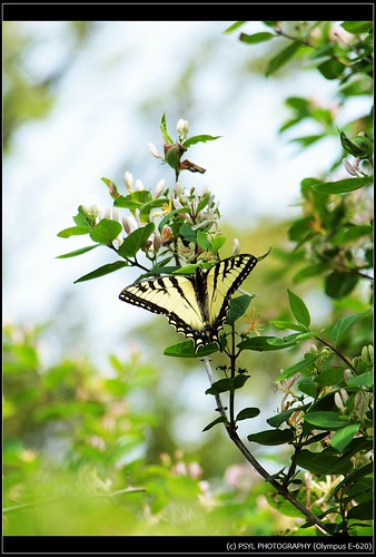 Eastern Tiger Swallowtail (Papilio glaucus) 6