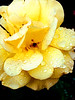 beautiful when wet (bdaryle) Tags: flower macro nature wet rain rose yellow droplets petals sony flor rosa flickrflorescloseupmacros brandondaryle bdaryle imagesbybrandon beautifulwhenwet