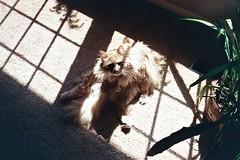 (jordandavidsmall) Tags: light film cat 35mm lazy yashicat5 agfa vista200