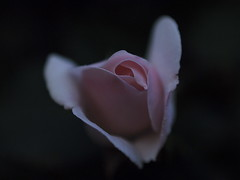 _5277085 (slowhand7530) Tags: macro rose takumar olympus ep2 supertakumar1450 mypersonalfavsonep2