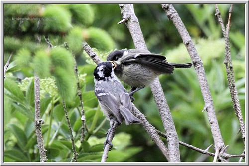 Coal Tit Feeding Fledgeling 4