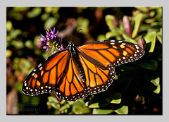 monarch002 (Rob Haskett Photography) Tags: orange white flower butterfly purple rob monarch perched 500d quarrypark haskett tepuna 55250mmefs t1i
