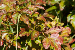 Poison oak with fall hues already Photo