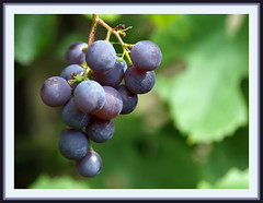 Give it some time ...... (Jan Gee) Tags: blue stilllife macro green wine stilleven grapes grape trauben druif druiven