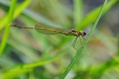 here's looking at you (christiaan_25) Tags: iris green eye reed grass sunshine insect wings legs lakeside lacy damselfly spikes zygoptera foothold lakemarmo funwithdamselflies