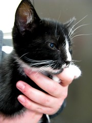 Teddy, Tuxedo Kitten Just out of Surgery ~ He Got Adopted (Pixel Packing Mama) Tags: heartlandhumanesociety pixelpackingmama dorothydelinaporter montanathecat~fanclub montanathecat~fanclubpool spcacatspool ceruleanthecat~fanclub ceruleanthecat~fanclubpool tuxedocatsset tuxedocatspool tuxedokittiespool focusontheheadpool catpixpool catfacespool catcatscatzpool catscookiecatfriendspool pixuploadedfirsthalfof2010set pixtakeninfirsthalfof2010set picturestakenwithcanonpowershota2000isin2010set catskittensstartingjanuary12010set pixelpackingmama~prayforkyronhorman oversixmillionaggregateviews over430000photostreamviews