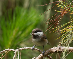 Chestnut-backed Chickadee Photo