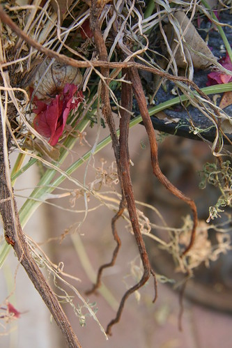 poppy root