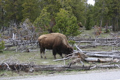 Bison on roadside