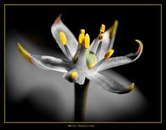 Sparkling (rondeboom) Tags: flowers flower holland macro beautiful amazing flora artistic blossom bloemen 2010 bloem dda mark2 supershot canonmacroef100mm dragondaggerawards canond5mark2 bestofmywinners wwwdifoproductionsnl