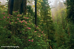 Wild Rhododendrons (Don Smith Photography) Tags: world california park county trees plants usa tree public fog del america coast natural state north nobody evergreen national rhododendron land trunk ericaceae cypress redwood redwoods sequoia norte blooming conifer