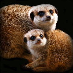 """family portrait"" (rogersmithpix) Tags: searchthebest wildlife ngc mongoose suricatasuricatta meerkats adelaidezoo specanimal mywinners mongoosefamily meerkatandpup meerkatpups"