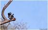 Dancing Wonder! (Naseer Ommer) Tags: canon dove kerala streptopeliachinensis westernghats spotteddove naseerommer canon300mm chinnarwildlifesanctuary canoneos7d birdofkerala dpintl discoverplanetinternational