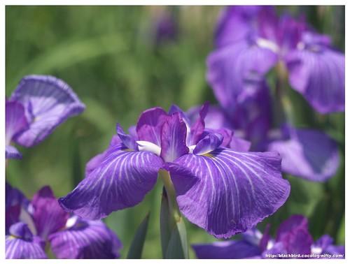 Jpapanese Iris 100609 #03