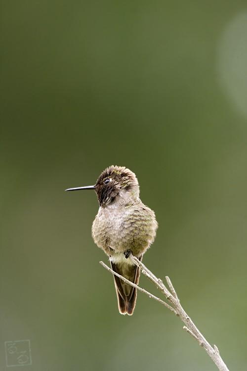 Anna's Hummingbird 05101