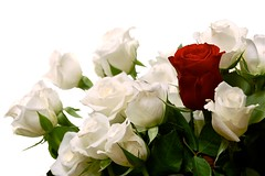 Roses (61/365) (sakarias.ingolfsson) Tags: flowers red roses white sb600 whitebackground project365 radiotriggers nikond40 brokenpattern nikkor1855f3556g cactusv4 sunpak36fd