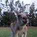 Nosy Kangaroo