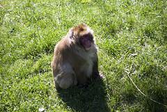 Macaque japonais / Japanese Macaque (Laurent Silvani) Tags: canada nature animal animals japanese zoo nikon quebec free qubec animaux japonais singe savage macaque sauvage d60 japanesemacaque naturel macaquejaponais