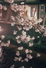 cherry blossoms at night 4 (転倒虫) Tags: pink light flower japan night cherry evening spring kyoto 京都 桜 hanami 春 takasegawa 高瀬川