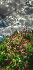 Oleander (Celtenator) Tags: flowers clouds oleander hdr