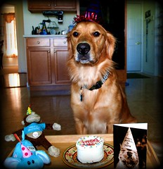 So they say it's my birthday :D (Golden Moments Petography) Tags: birthday boy dog baby elephant cake canon monkey james golden jasper tag hats plate retriever sprinkles card canonxt collar picnik